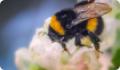 Луговой шмель: питание, образ жизни, места обитания