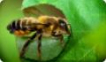 Пчела-листорез люцерновая: питание, образ жизни, места обитания