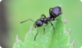 Черный садовый муравей: питание, образ жизни, места обитания