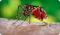 Комар желтолихорадочный: питание, образ жизни, места обитания