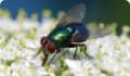 Обыкновенная зеленая падальница: питание, образ жизни, места обитания