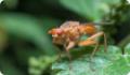 Скатофага навозная: питание, образ жизни, места обитания