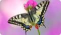 Бабочка Махаон: питание, образ жизни, места обитания