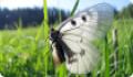 Бабочка Мнемозина: питание, образ жизни, места обитания