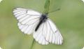 Бабочка Боярышница: питание, образ жизни, места обитания