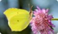 Бабочка Крушинница: питание, образ жизни, места обитания