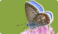 Бабочка Голубянка икар: питание, образ жизни, места обитания