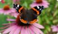Бабочка Адмирал: питание, образ жизни, места обитания