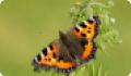Бабочка Многоцветница: питание, образ жизни, места обитания