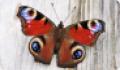Бабочка Павлиний глаз: питание, образ жизни, места обитания