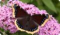 Бабочка Траурница: питание, образ жизни, места обитания