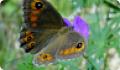 Бабочка Буроглазка большая: питание, образ жизни, места обитания