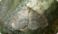 Зимняя пяденица: гусеницы и бабочки