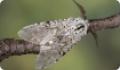 Гарпия большая: бабочки и гусеницы