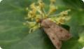 Совка озимая: бабочки и гусеницы