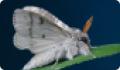 Краснохвост: бабочка и гусеница