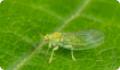 Яблонная медяница: питание, образ жизни, места обитания