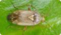 Слепняк луговой