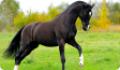 Конституция туловища лошади. Недостатки тела и пороки экстерьера спины