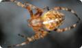 Крестовик обыкновенный: питание, образ жизни, места обитания