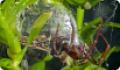 Паук-серебрянка: питание, образ жизни, места обитания
