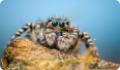 Пестрый скакунчик: питание, образ жизни, места обитания