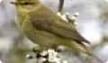 Пеночка-весничка: фото и описание птицы. Обитание и питание