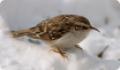Пищуха (Certhia familiaris) - птица с камуфляжной окраской тела