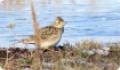 Жаворонок полевой: фото и описание птицы. Обитание и питание