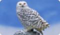 Белая, или полярная, сова: интересные факты о животном
