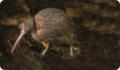 Киви: интересные факты о животном. Где обитает и чем питается