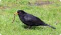 Дрозд черный (Turdus merula) - птица, немного больше скворца