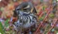 Дрозд-белобровик, или белобровик (Turdus iliacus)