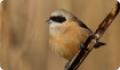 Ремез обыкновенный — небольшая птичка с шиловидным клювом