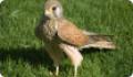 Сокол пустельга (Falco tinnunculus) - размножение и питание птицы
