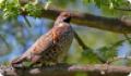 Рябчик (Tetrastes bonasia). Описание птицы и фото
