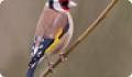 Щегол обыкновенный, или черноголовый: фото и описание птицы