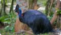 Шлемоносный казуар: интересные факты о животном. Питание и обитание