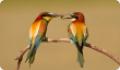 Щурка золотистая: питание, размножение и миграции птицы