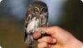 Сычик воробьиный (Glaucidium passerinum) - маленькая сова