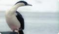 Антарктический синеглазый баклан: интересные факты о животном