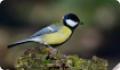 Синица большая: фото и описание птицы. Обитание, питание, размножение