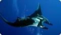 Скаты - морские животные из класса рыб с хрящевым скелетом. Ядовитые виды