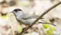 Славка-черноголовка: фото и описание птицы. Обитание и питание