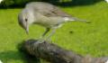 Славка садовая: фото и описание птицы. Обитание и питание