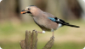 Сойка: фото и описание птицы. Обитание, питание, размножение