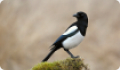 Сорока: фото и описание птицы. Обитание, питание, размножение