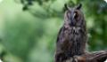 Сова ушастая: питание, размножение, миграции и местообитание птицы