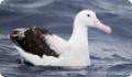 Странствующий альбатрос: интересные факты о животном. Обитание и питание