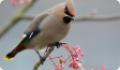 Свиристель: фото и описание птицы. Обитание, питание, размножение